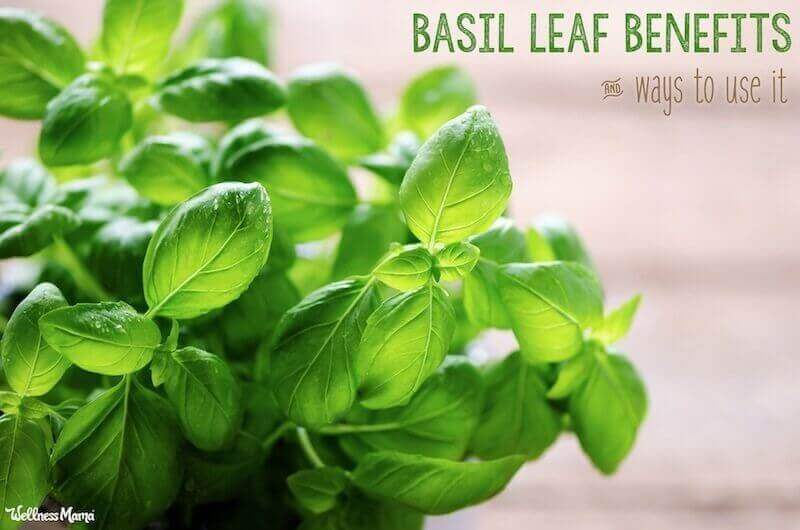 benefits of basil herb leaf